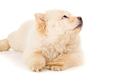 Chow chow puppy with a bone Stock Image