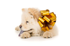 Chow chow puppy with a bow Stock Image