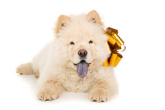 Chow chow puppy with a bow isolated Royalty Free Stock Image