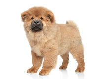 Chow chow puppy Stock Photo