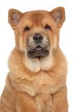 Chow Chow puppy close-up portrait Stock Images