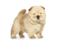 Chow-chow puppy Stock Photos