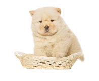 Chow-chow puppy Royalty Free Stock Photo