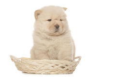 Chow-chow puppy Royalty Free Stock Photos