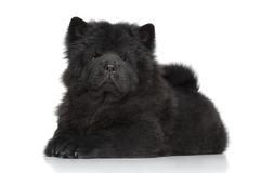 Chow-chow puppy Stock Images