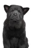 Chow chow puppy portrait Stock Image