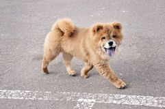 Chow Chow Puppy Running. Little chow chow puppy dog running Stock Photos