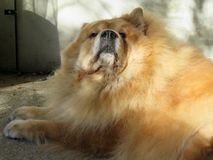 Chow Chow Stock Photos