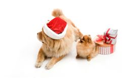 Chow Chow in a red Santa Claus hat and spitz, Royalty Free Stock Photography