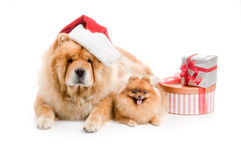 Chow-Chow in a red Santa Claus hat and spitz, Royalty Free Stock Images