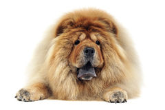 Chow chow relaxing in the white studio Stock Image