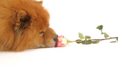 Chow-chow and rose, Royalty Free Stock Photos