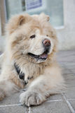 Chow chow side Royalty Free Stock Photos