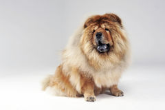 Chow chow sitting in a white limbo Royalty Free Stock Photography