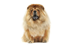Chow chow sitting in a white studio floor Stock Image