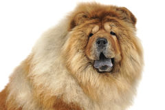 Chow chow sitting in a white studio floor Royalty Free Stock Image
