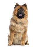 Chow Chow sitting (1 year old) Stock Image