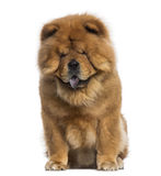 Chow Chow sitting (3 years old) Royalty Free Stock Photography