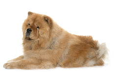 Chow chow in studio Royalty Free Stock Image