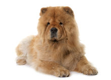 Chow chow in studio Royalty Free Stock Photography