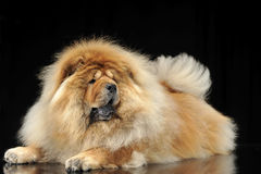 Chow chow studio shoot in a dark background with a shiny floor Stock Photos