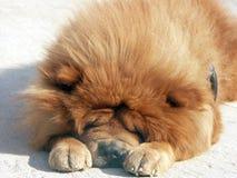 Chow-chow vermelho Imagens de Stock Royalty Free