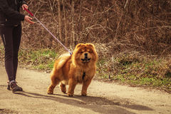 Chow Chow Walking Royalty Free Stock Photos