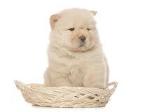 Chow-Chow Welpe Lizenzfreie Stockfotos