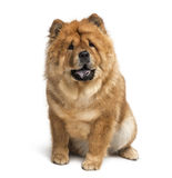 Chow chow (2 years old) Royalty Free Stock Photo