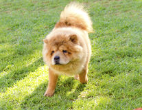 Chow Chow. A young beautiful fawn, cream brown, Chow Chow puppy dog walking on the lawn. The Chowdren has a distinctive dense coat, ruff behind the head and Stock Image