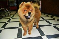 Chow Chow Dog fotografia stock