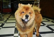 Chow Chow Dog immagine stock