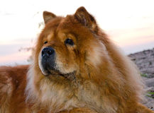 Chow dog Royalty Free Stock Photo