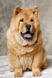Chow dog resting Royalty Free Stock Photography