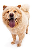 Chow dog with tongue out. A Chow dog with tongue out stock photography