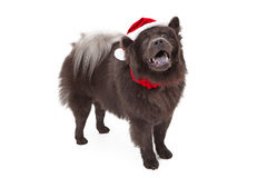 Chow Dog Wearing Santa Hat Royalty Free Stock Photos