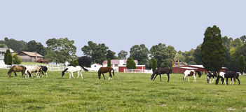 Chow Line. Tennessee Walking horses graze across the field at a neighboring stable Royalty Free Stock Image