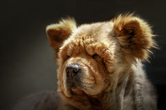 Chow portait. A lovely chow-chow portrait Royalty Free Stock Photography