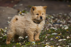 Chow Puppy stock image