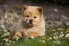 Chow Puppy stock images