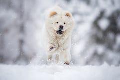 Chow Chow Running op de wintersneeuw royalty-vrije stock afbeeldingen