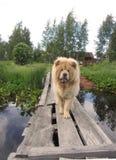 Chow, se reposant dans le village images stock