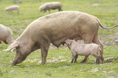 Chow time. Mother and baby pig Royalty Free Stock Photos