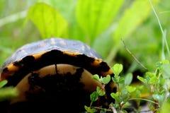 Chować pudełkowatego żółwia Obraz Stock