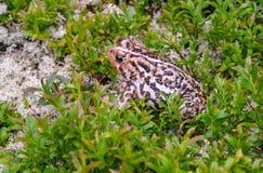 Chowana żaba w Grands Jardins parku zdjęcie royalty free