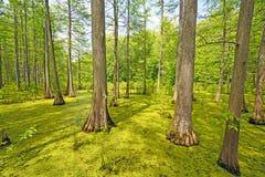Chowany Cyprysowy las na słonecznym dniu obrazy stock