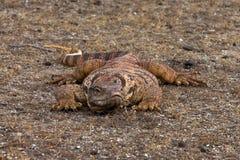 Chowany monitor jaszczurki Varanus griseus Obraz Royalty Free