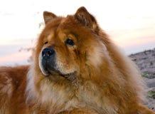 Chowhund Royaltyfri Foto