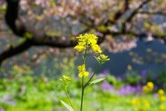 Choy λουλούδι Pak Στοκ φωτογραφία με δικαίωμα ελεύθερης χρήσης