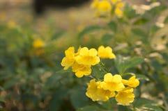 Choy blomma Arkivfoton